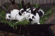 Kaninchen Riesenschecken von März 2021
