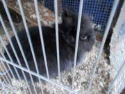 schwarzes Löwenkopf zwergkaninchen Bock kastriert