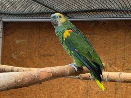 Blaustirn-Amazone (Henne)
