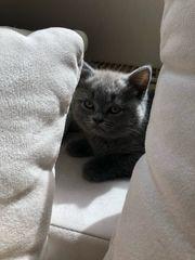 bkh kitte Männchen Sucht liebevolles