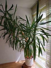 Große dekorative Yucca Palme Zimmerpflanze