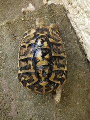 Schildkröte THH Weibchen