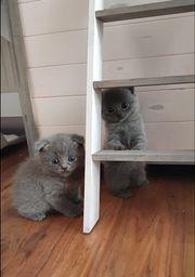Scottisch Fold BKH Kitten suchen