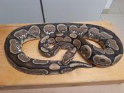 kA nigspython python regius 1