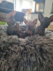 Kanadische Sphynx Katzen 3 Jungs