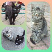 Baby Katzen getigert und schwarz