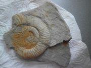 Versteinerung Fossil Ammonit