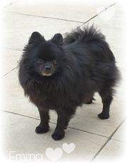 Pomeranian Zwergspitz - Hündin - 4 Jahre