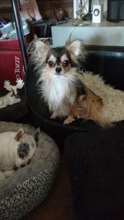 Chihuahua zur Familiengründung