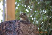 Junge chinesische Baumstreifenhörnchen