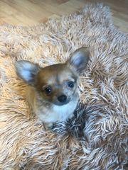 chihuahua Rüde 12 Wochen