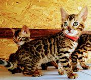 Bengal Kitten mit Stammbaum ohne