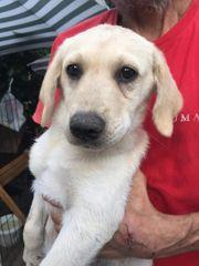Wunderschöne blonde Labradormischlinge