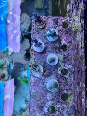 Meerwasser Korallen Ableger frags Acropora