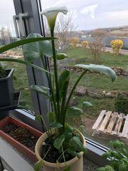 Grosse Calla Pflanze mit vielen