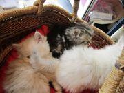 Perser Kitten Baby Katzen abzugeben