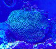 SPS Koralle Meerwasser
