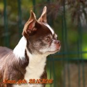 Typvolle Chihuahua-Kurzhaarhündin