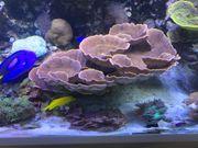 Montipora Rot Meerwasser