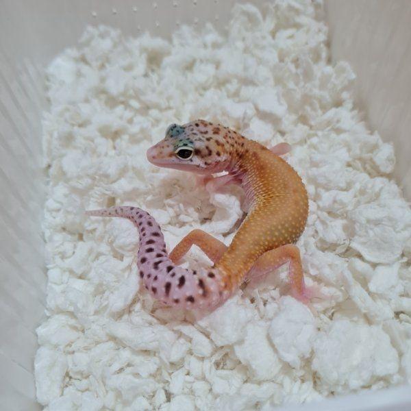 Verschiedene Leopardgeckos abzugeben