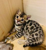 Bezaubernde kleine Bengal Tiger