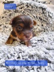 Biewer Yorkshire Terrier Rüden