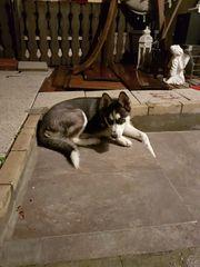 Siberian Husky Welpen Hündin