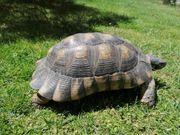 Breitrandschildkröte männlich 18 Jahre alt