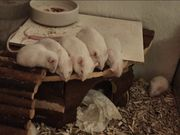 Weiße Mäuse