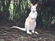 Känguru Jungtiere abzugeben