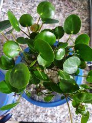 Ufo Pflanze chinesischer Geldbaum Pilea