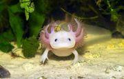 Axolotl gesucht