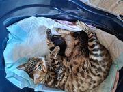 Reinrassige Bengal Kitten Kater