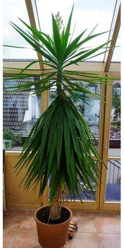 Yucca-Palme ca 2 5 Meter