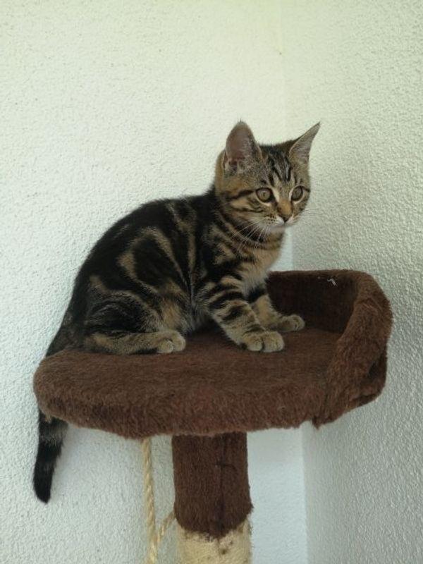 Bengal-Mix kitte