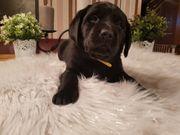 Labrador Welpen mit Ahnentafel in