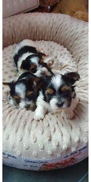 Biewer-Yorkshire-Terrier aus liebevoller Körzucht-Verpaarung