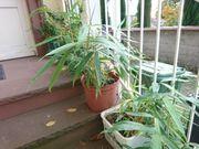 Bambus grossblättrig