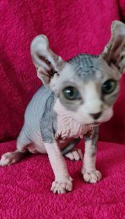 Elf-sphynx kitten Mädchen