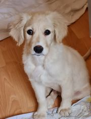 Golden Retriever welpe Labrador mix