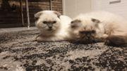 BKH Kätzchen suchen ein Zuhause