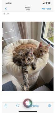 Maine Coon Katze Kater Geschwister