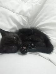 wunderschöner kitten BKH