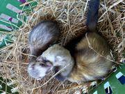 4kleine Frettchen