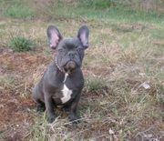 Französische Bulldog Hündin in Blau