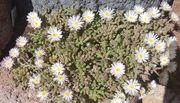 1 weiße Mittagsblume Delosperma Graaff