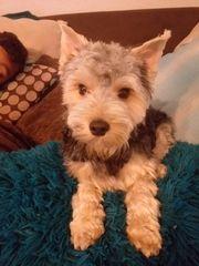 Süßer Yorkshire Terrier Rüde