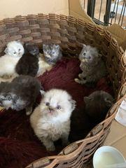 wunderschöne Perser Kätzchen mit schöner