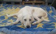 SOS 1 Jahr alter Labradormischling