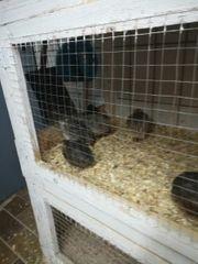 Wachteln und Wachtel Eier